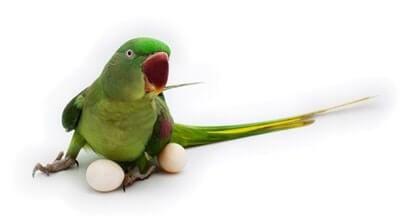 at what age do female parrots lay eggs?