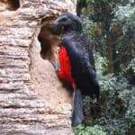 can you have a dracula parrot as a pet?