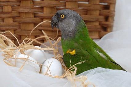 do female parrots lay unfertilized eggs?