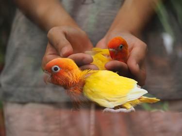 do lovebirds like to be handled?