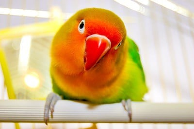 do lovebirds need a lot of attention?