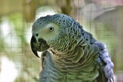 how do parrots age?