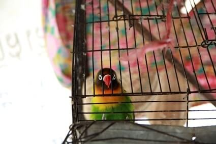 how long can lovebirds be left alone?