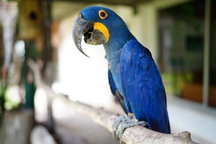 how often do parrots molt?