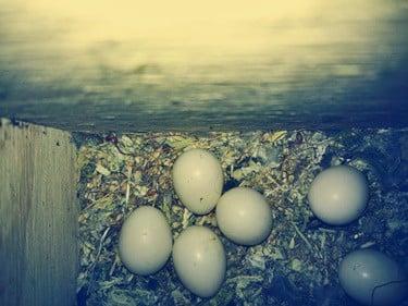 parrot egg laying symptoms