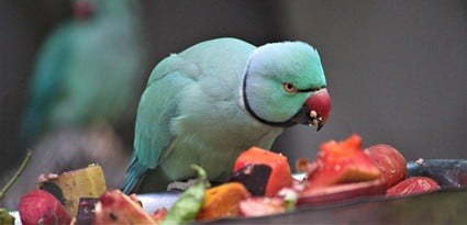 parrot throwing food out of bowl