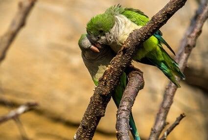 quaker parrot happy sounds