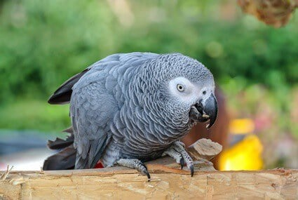 signs of a happy African grey