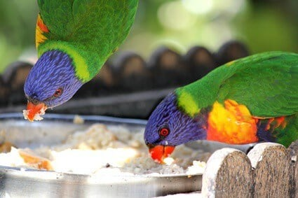 what attracts parrots to your yard?
