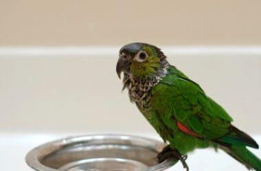 what month do parrots molt?
