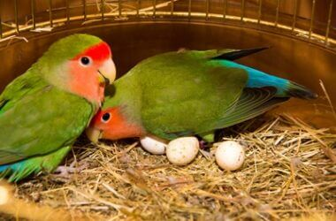 why do parrots destroy their eggs?