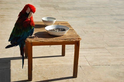why do parrots waste food?