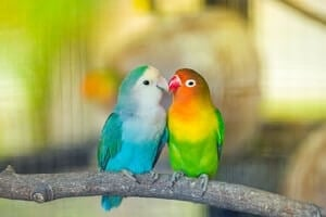apartment policy on lovebirds