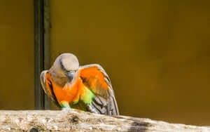 are Red-Bellied Parrots OK for apartments?