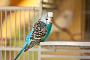 are budgies too loud for apartments?