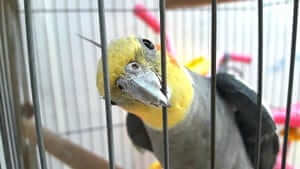 are cockatiels too loud for apartments?