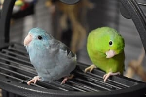 are parrotlets good for apartments?