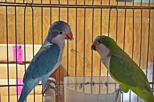 are quaker parrots good for apartments?