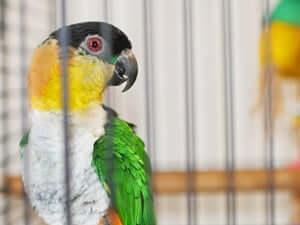 caique apartment bird