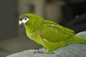can Mini Macaws live in apartments?