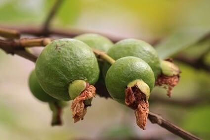 can parrots eat guava seeds?