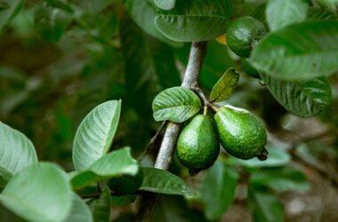 is guava safe for parrots?
