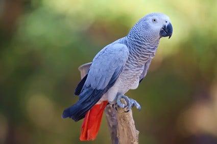 parrot vocalization