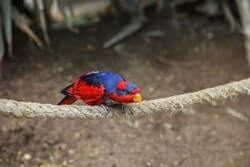 Red and Blue Lory
