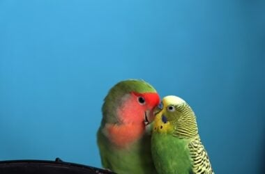 can different types of parrot mate?