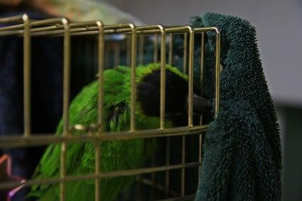 towel training parrot