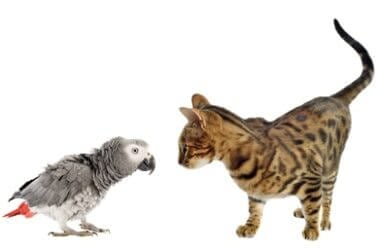 are parrots more intelligent than cats?