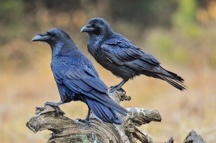can ravens talk like parrots?