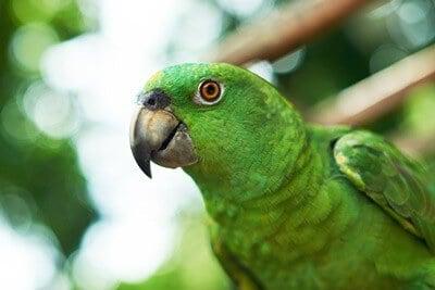 can you trim a parrot's beak?