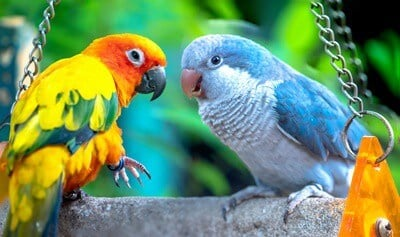 how do parrots talk without vocal cords?
