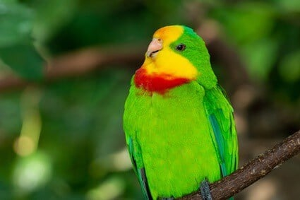 signs of egg binding in parrots