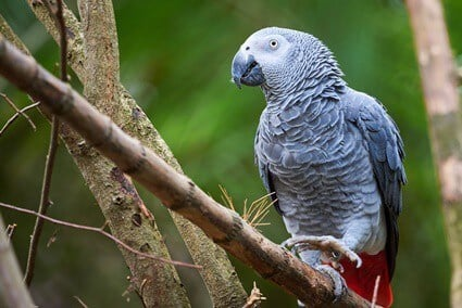 what causes egg binding in parrots?
