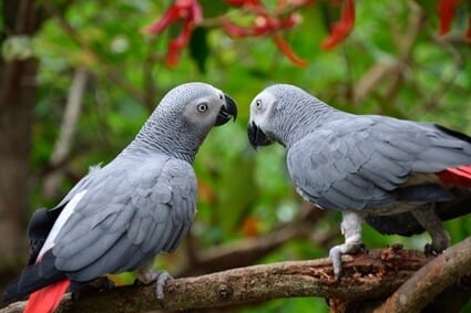 what words can parrots say?