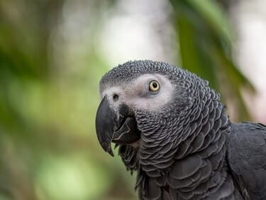 why do parrots beaks need to be trimmed?
