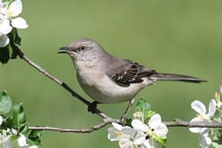 Can Mockingbirds Talk?