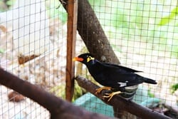 Can Myna Birds Talk?