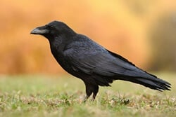 Can Ravens Talk?