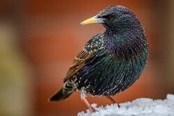 Can Starlings Talk?