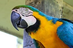 are Macaws good talkers?