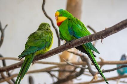 are male parrots more aggressive?