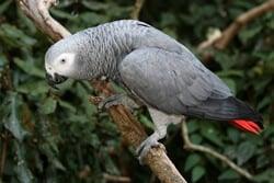 can african grey parrots talk?