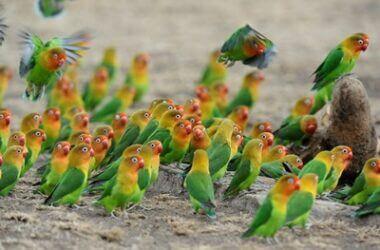 different types of fischer's lovebirds