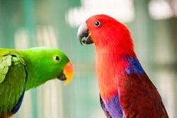do Eclectus Parrots talk?