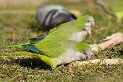 do Quaker Parrots talk?