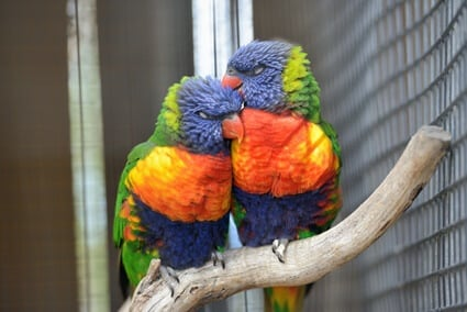 do male or female parrots talk more?