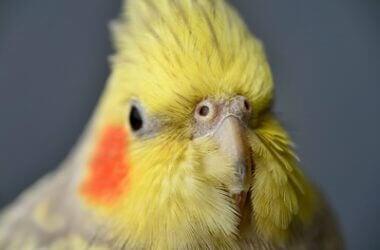 normal cockatiel nostrils